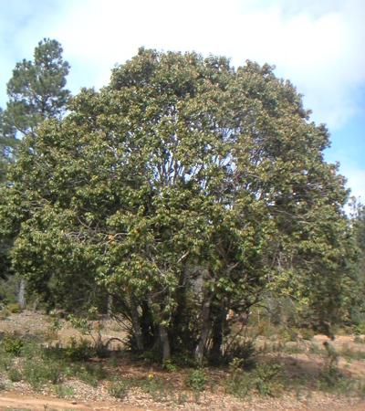 henrytree
