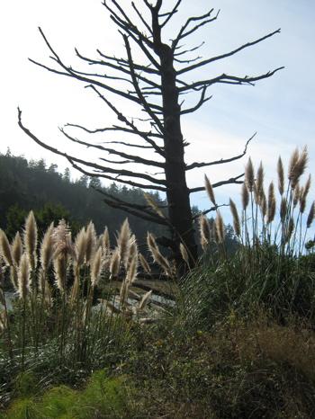 pampastree